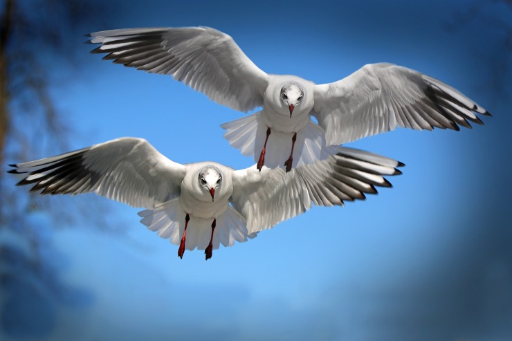 gulls-654046_1920